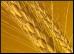 Wheat.9.Thmb.jpg