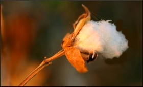 Cotton.9.jpg