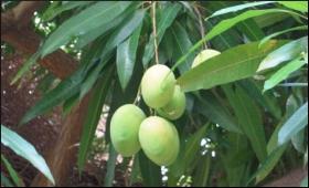 Mango.9.jpg