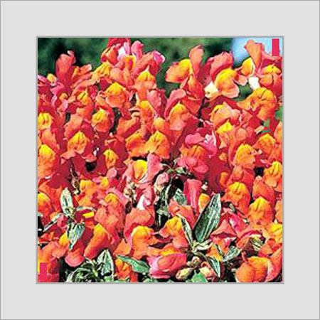Antirrhinum-Frosted Sunset Varigated