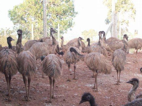 Emu Breeder