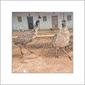 Adult Emu Birds