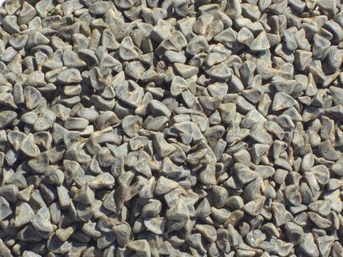 Kenaf Seed