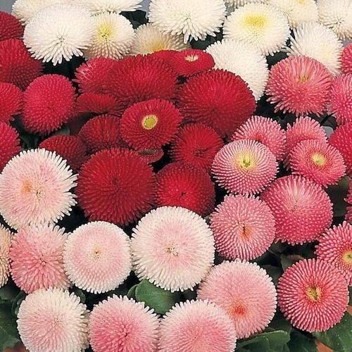 English Daisy Pomponette Mix Flower Seeds