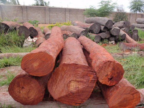 Pictures of Red Sandalwood Tree Price - #rock-cafe