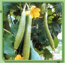 Sponge Gourd Seeds