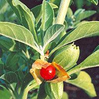 Withania Somnifera (Ashwagandha) Withanolides Max. 1.5%