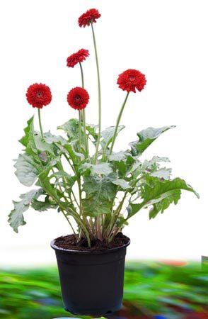 Gerbera Plant