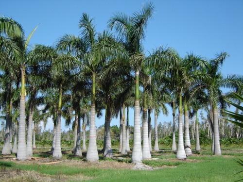 Pana P Pa Royal Palm Kerala Flora