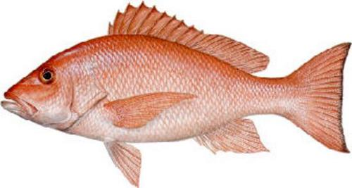 Image gallery edible fish for Types of edible fish