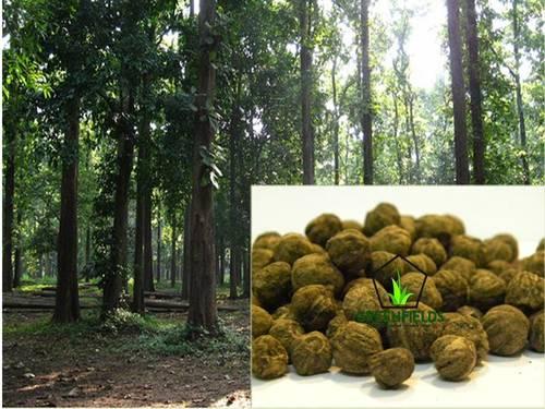 Treated Teak Forestry Tree Seeds (Tectona Grandis)