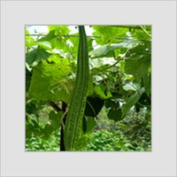 Ridge Gourd Seed