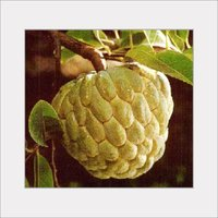 Indian Custard Apple