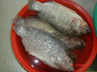 Tilapia Fish