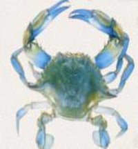 Crab- Blue Swimming