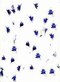 Cornflower on White Paper