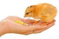 Hand Eating Corn Flour