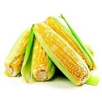 Indian Yellow Corn Or Maize