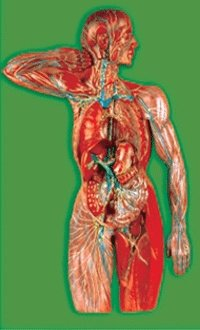 Lymphatic System Model