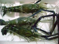 Fresh Water Shrimp/Scampi HOSO