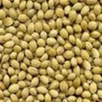 Single Parrot Quality Coriander Seeds