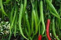 Chilli Ashwini Seed