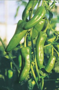 Green Chilli 222 Seed