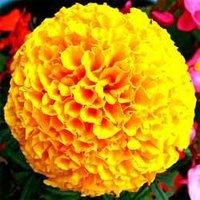 Marigold Karina Seed