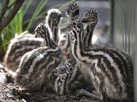 Emu Breeder Feed