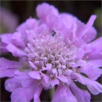 Microcap True Lavender