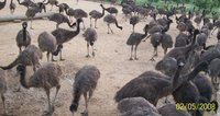 Live EMU Birds