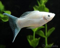 Aquarium White Molly Fish