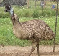 Emu Birds