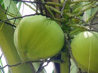 Coconut Water Consultancy Services