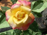 Rose Flower Plant (Souveins)