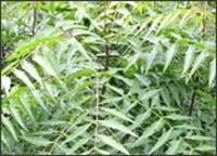 Best Quality Neem Leaves