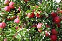 Apples Paclobutrazol