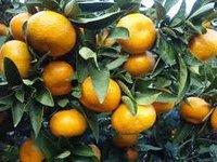 Citrus Paclobutrazol