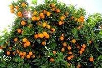 Orange Paclobutrazol