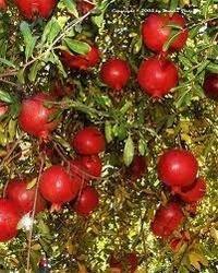 Pomegranates Paclobutrazol