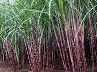 Sugarcanes Paclobutrazol