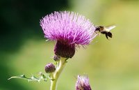 Natural Organic Milk Thistle Extract