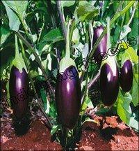 Brinjal Hybrid Seed