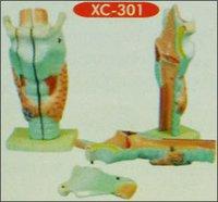 Human Larynx Model Magnified (Xc-301)