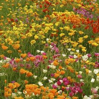 California Poppy Mix Flower Seeds