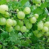 Amla Herbs