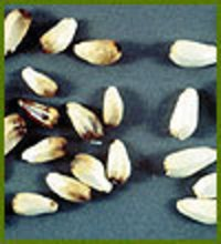 White Safflower Seeds