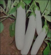 White Brinjal Seeds