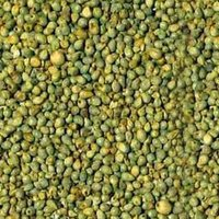 Hybrid Pearl Millet Bajra
