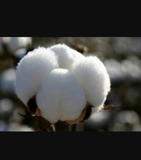 Organic Hybrid Cotton Seed For Planting Purpose